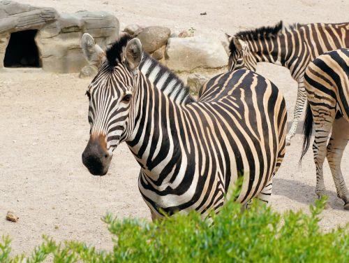zebra striped black and white