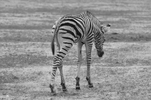 zebra  baby  animal