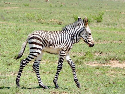 zebra  zebra baby  young zebra