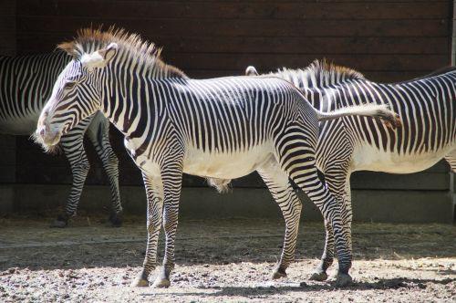 zebra stall hoofed animals