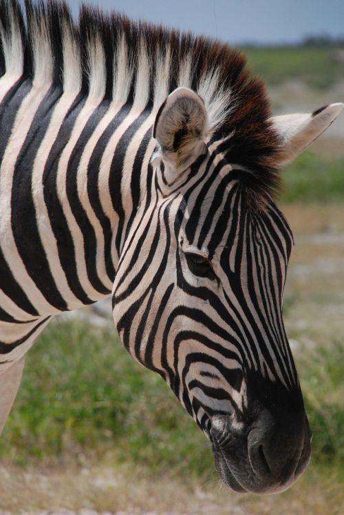 zebra the horse animal
