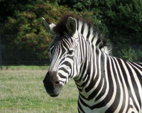 zebra safari knuth borg