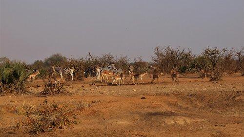 zebra  impala  elephant