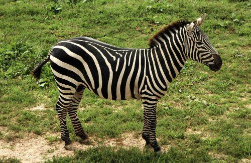 zebra grant's zebra dquus quagga goehmi