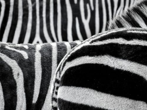 zebra zebra crossing animals