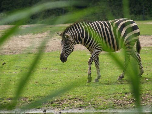 zebra watering hole wild horse