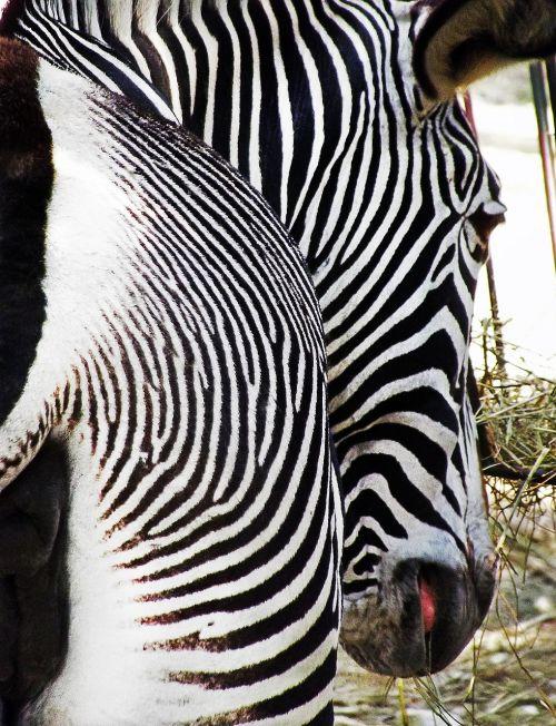 zebra bar stripes