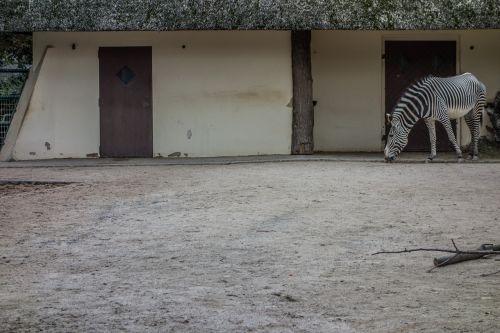 zebra stall perissodactyla