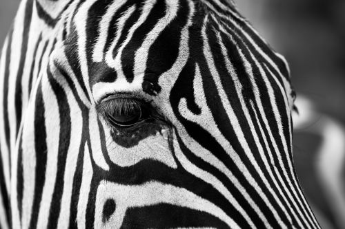 zebra stripes black and white
