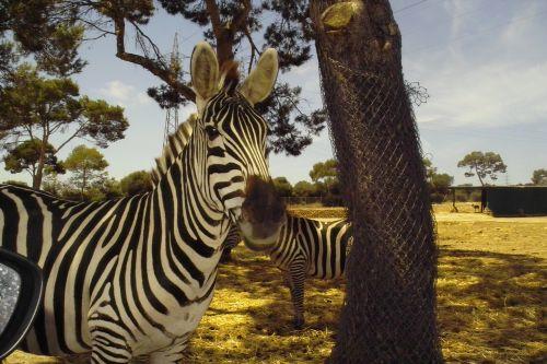 zebra animal beautiful color