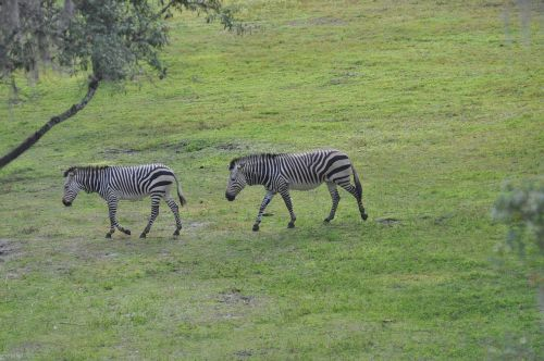 zebra savannah animal