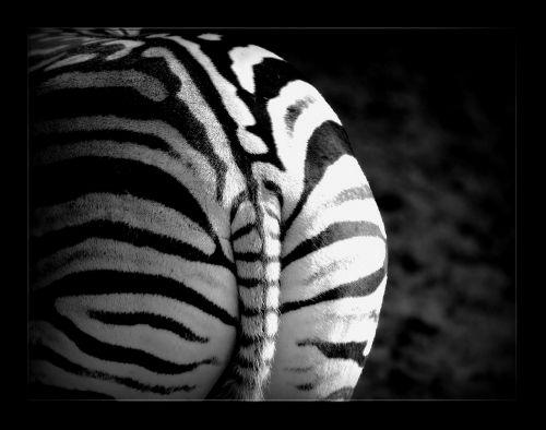 zebra stripes animal