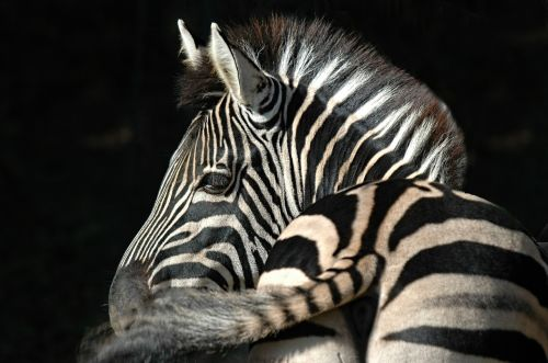 zebra,stripes,animal,ruminant,mane,free photos,free images,royalty free