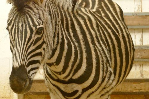 zebra animals black and white