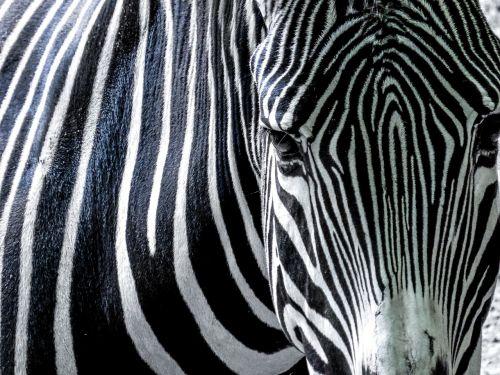 zebra black and white africa