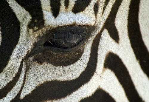 zebra macro black and white