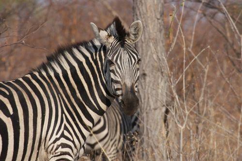 zebra africa wild