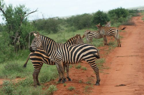 zebras animal africa
