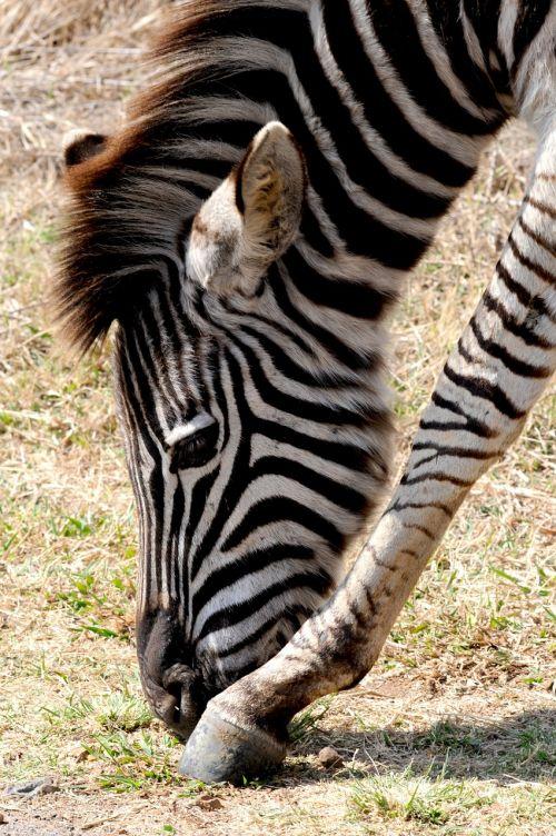 zebra wild animal africa
