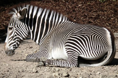 zebra hoof striped