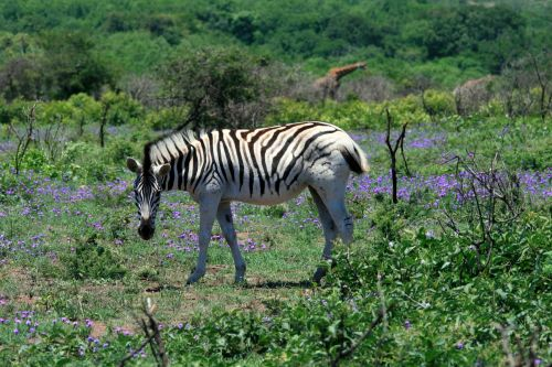 Zebra From The Side