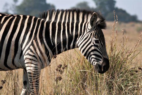 Zebra In The Veld