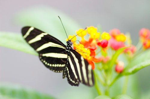 zebra longwing  butterfly  nature