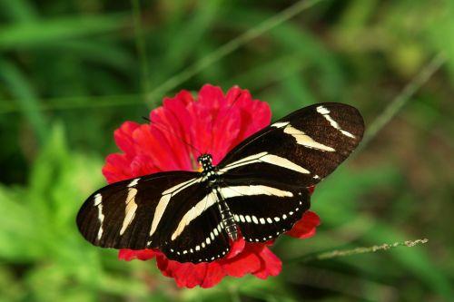 zebra longwing butterfly florida butterfly