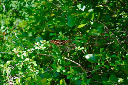 zebra longwing butterfly marathon florida keys