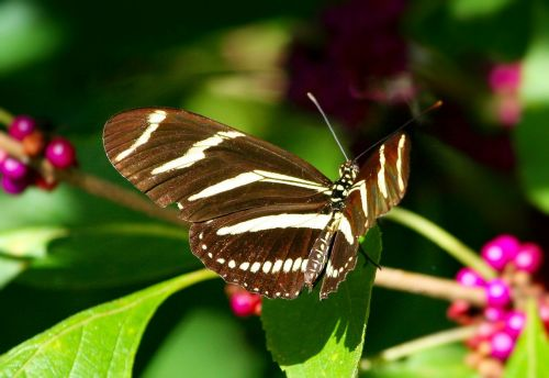 zebra longwing butterfly insect wings