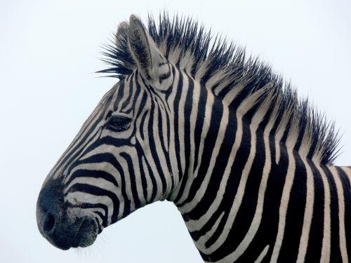 Zebra Portrait Close Up