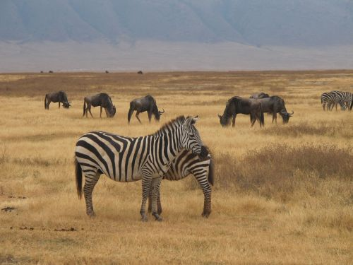 zebra safari ngorongoro nature