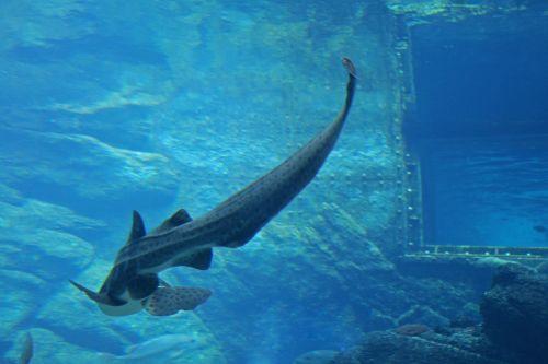 Zebra Shark In Aquarium