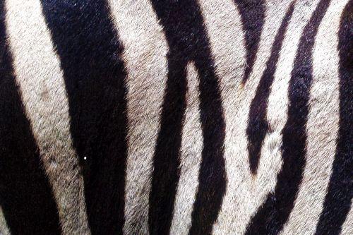 Zebra Skin 2