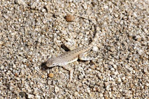 zebra tailed lizard long tail reptile