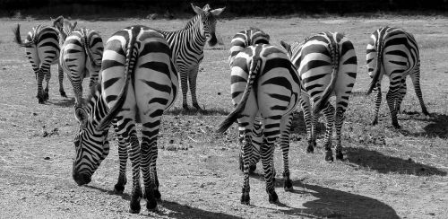 zebras black and white stripes