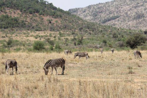 zebras exciting adventure