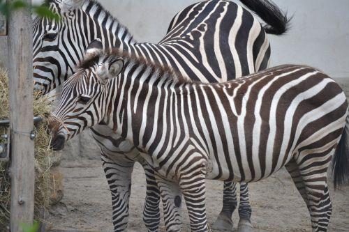 zebras zoo budapest