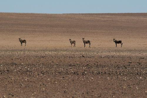zebras desert heat