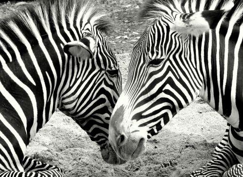 zebras zoo black and white