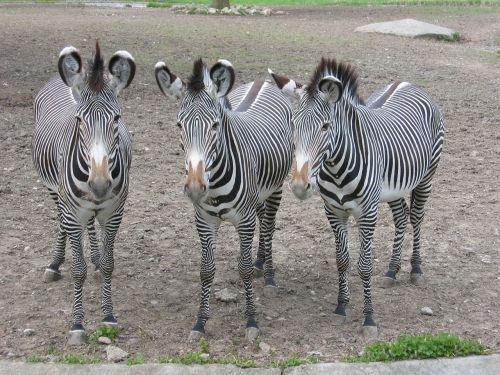 zebras zebra zoo