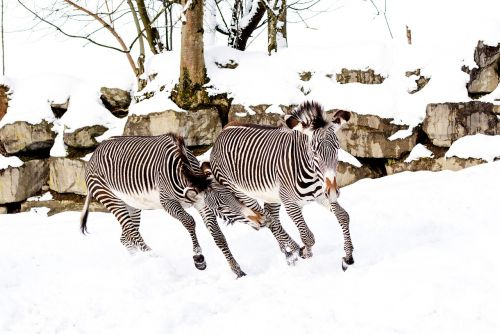 zebras play snow