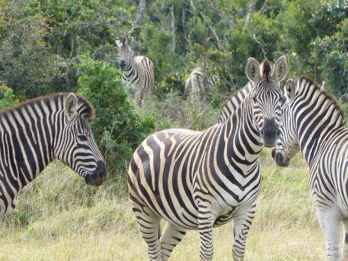 zebras safari kruger national park