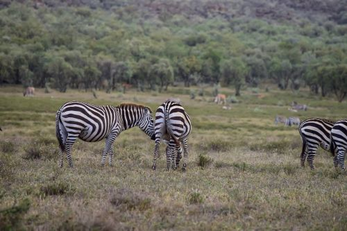 zebras grazing in