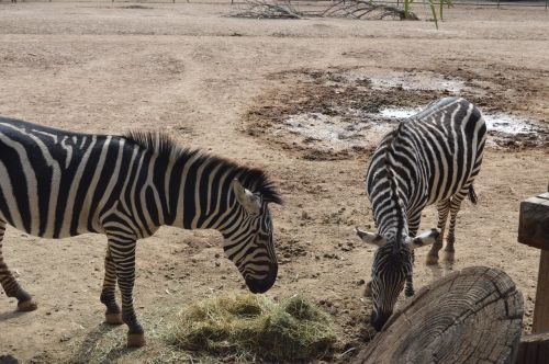 zebras zoo animal