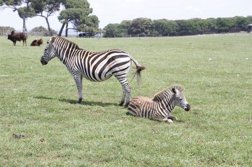 zebras tito croatia