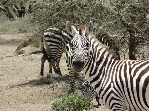 zebras savannah look
