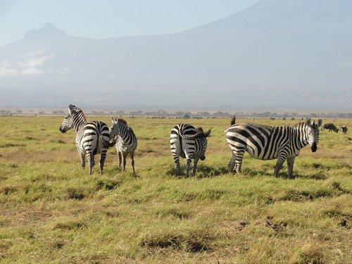 zebras  africa  national park