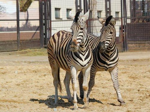 zebras  a pair of  animals