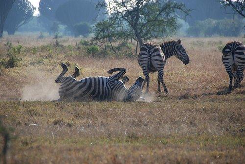 zebras  africa  safari